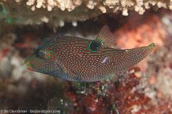 BD-111128-Raja-Ampat-5534-Canthigaster-papua-(Bleeker.-1848)-[Papuan-toby].jpg